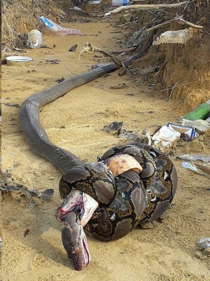 Trận tử chiến ác liệt của 2 con quái thú không chân cùng đến từ Đông Nam Á - ảnh 1