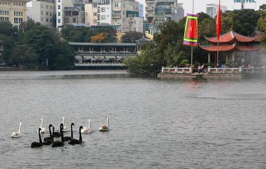Cận cảnh đàn thiên nga giá 20 triệu đồng/con tại Hồ Gươm nhập từ nước ngoài - Ảnh 7.