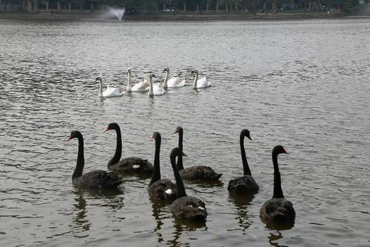 Cận cảnh đàn thiên nga giá 20 triệu đồng/con tại Hồ Gươm nhập từ nước ngoài - Ảnh 8.