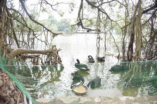 Cận cảnh đàn thiên nga giá 20 triệu đồng/con tại Hồ Gươm nhập từ nước ngoài - Ảnh 11.