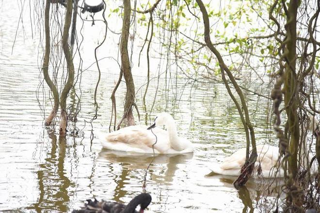 Cận cảnh đàn thiên nga giá 20 triệu đồng/con tại Hồ Gươm nhập từ nước ngoài - Ảnh 12.