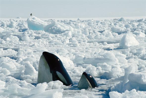 Trò chơi vương quyền trên biển (P2): Cơn ác mộng của 100 con cá mập trắng khổng lồ - Ảnh 4.