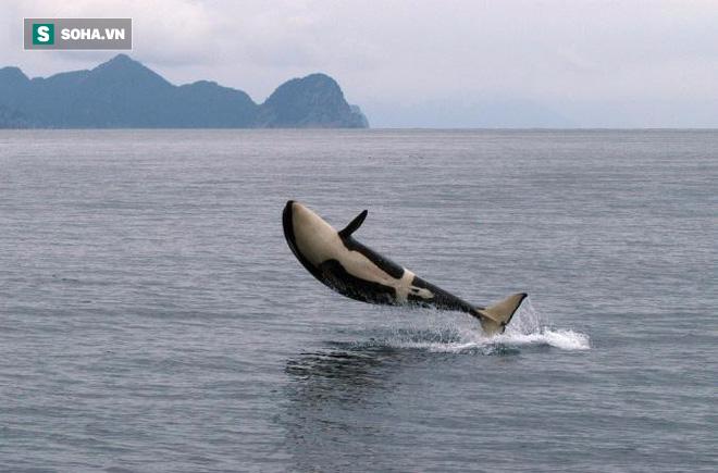 Trò chơi vương quyền trên biển (P2): Cơn ác mộng của 100 con cá mập trắng khổng lồ - Ảnh 3.
