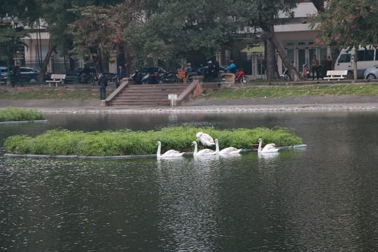 GS Lê Văn Lan: Thả thiên nga ở Hồ Gươm là rất thuận, hợp lí - Ảnh 2.