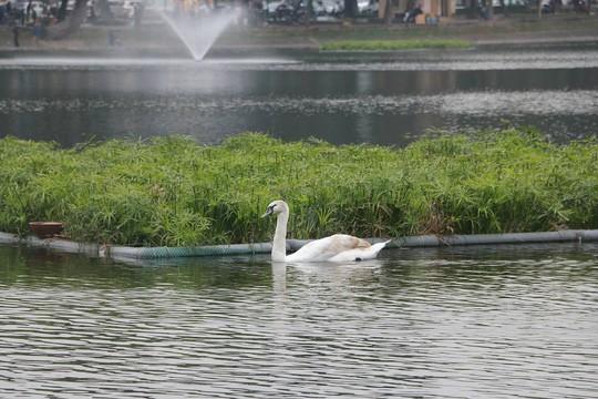 GS Lê Văn Lan: Thả thiên nga ở Hồ Gươm là rất thuận, hợp lí - Ảnh 8.