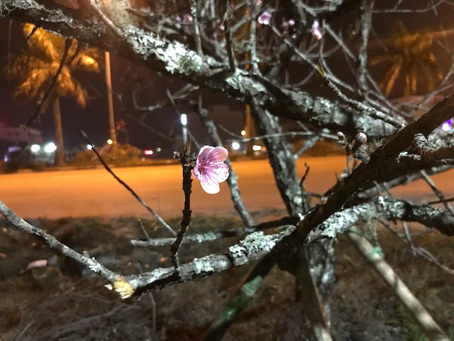 Trắng đêm ngồi co ro đốt củi sưởi ấm để canh đào, quất, hoa Tết 23