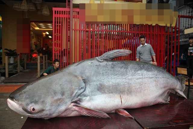 Thực hư chuyện đại gia Hà Nội mua cá khổng lồ giá trăm triệu về ăn Tết - Ảnh 1.