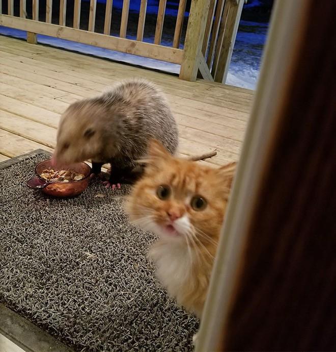 [Vui] Thêm một chú mèo nổi như cồn trên mạng vì phản ứng cực dễ thương khi bị cướp đồ ăn - Ảnh 2.