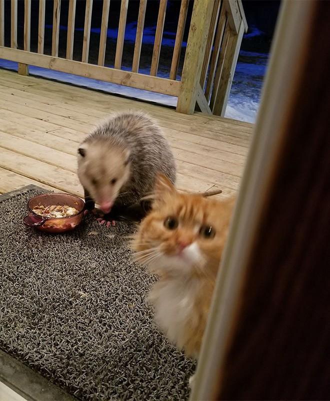 [Vui] Thêm một chú mèo nổi như cồn trên mạng vì phản ứng cực dễ thương khi bị cướp đồ ăn - Ảnh 7.