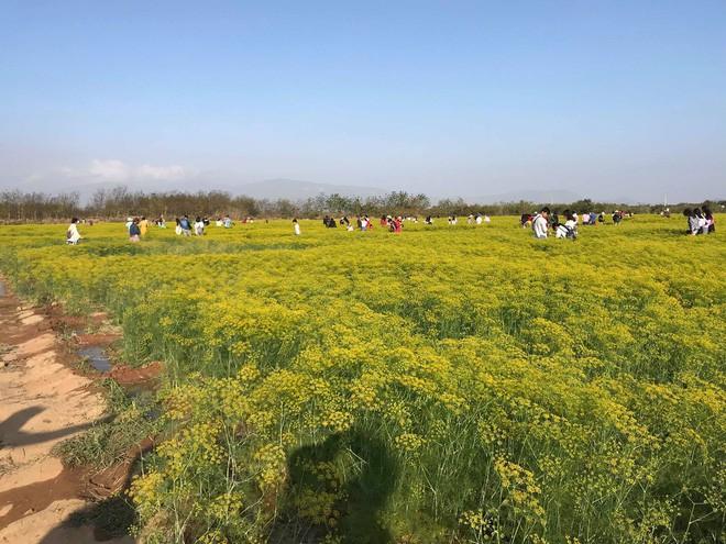 Cánh đồng hoa thì là ở Ninh Thuận vừa mở cửa 4 ngày đã vội vàng đóng cửa do bị khách tham quan giẫm đạp - Ảnh 11.