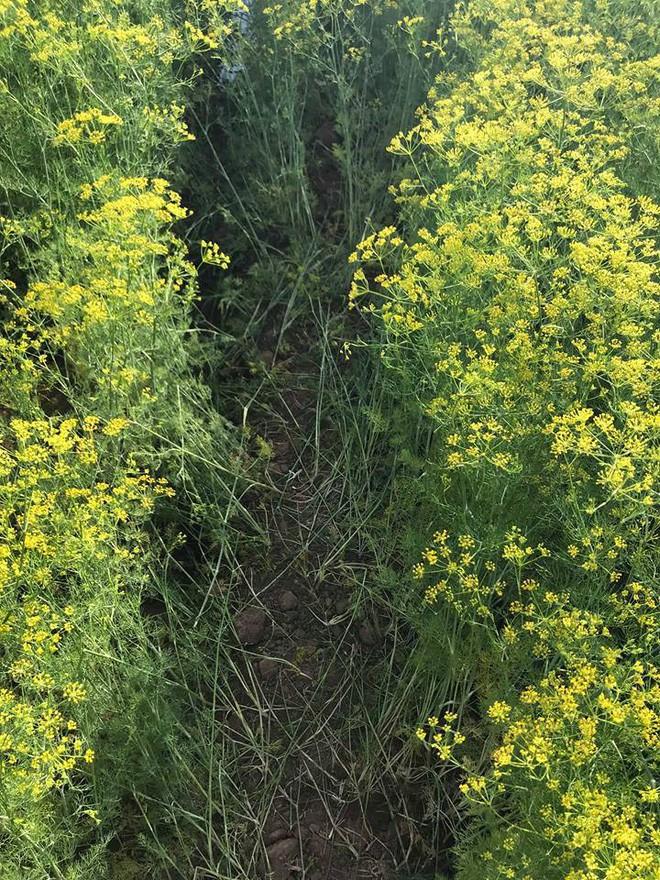 Cánh đồng hoa thì là ở Ninh Thuận vừa mở cửa 4 ngày đã vội vàng đóng cửa do bị khách tham quan giẫm đạp - Ảnh 5.