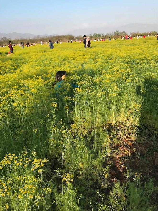 Cánh đồng hoa thì là ở Ninh Thuận vừa mở cửa 4 ngày đã vội vàng đóng cửa do bị khách tham quan giẫm đạp - Ảnh 7.