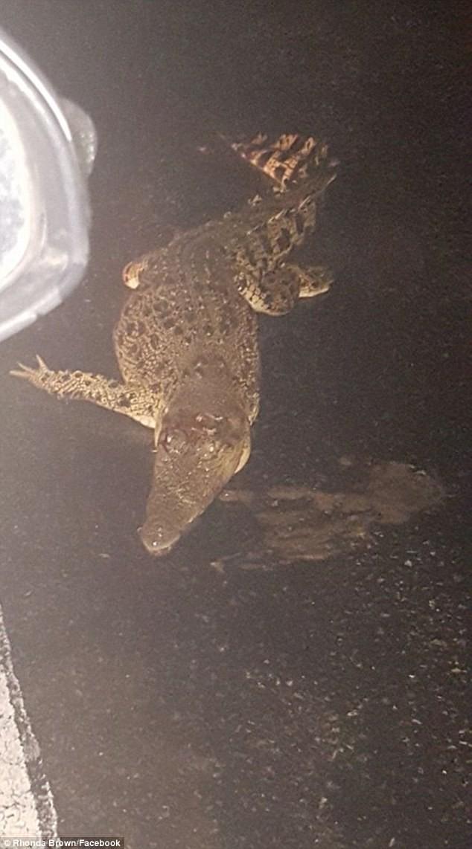 Úc: Mùa mưa mới tới, cơn ác mộng trăn rắn bò vào tận nhà, cá sấu khổng lồ bơi trước cửa khiến người dân lo lắng - Ảnh 2.