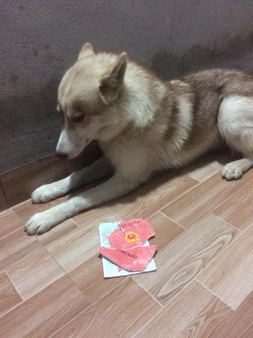 Chú chó Husky cắn rách hết sổ hộ khẩu của 'sen' chỉ vì lý do 'củ chuối' này! - ảnh 2