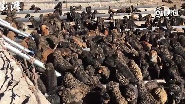 Bi kịch của Ngao Tây Tạng - từ thần khuyển triệu đô thành những con thú bị ruồng bỏ - Ảnh 9.