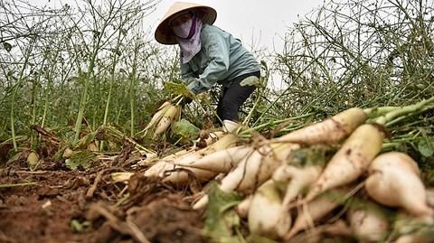 Cục Trồng trọt: Củ cải bỏ thối, nông dân đã thu tiền tỷ trước rồi - Ảnh 2.