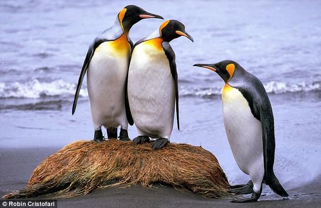 Khi hoàng đế băng hà: Vua của chim cánh cụt có thể vĩnh viễn bị xóa sổ trong tương lai gần - Ảnh 1.