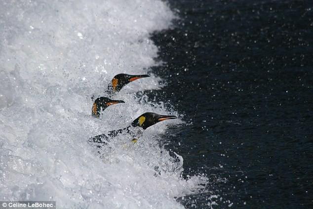 Khi hoàng đế băng hà: Vua của chim cánh cụt có thể vĩnh viễn bị xóa sổ trong tương lai gần - Ảnh 2.