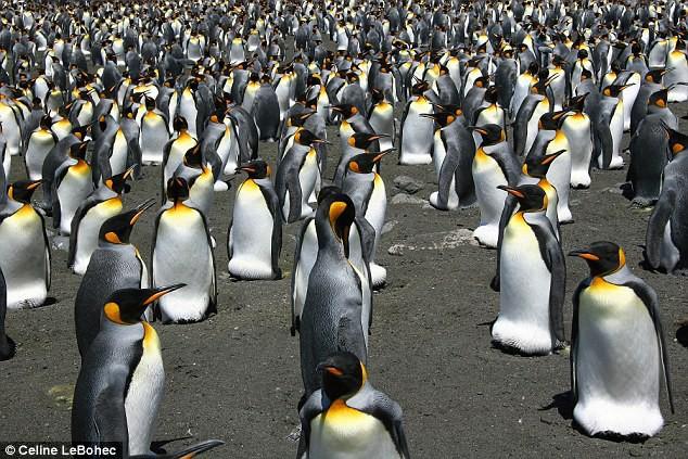 Khi hoàng đế băng hà: Vua của chim cánh cụt có thể vĩnh viễn bị xóa sổ trong tương lai gần - Ảnh 3.
