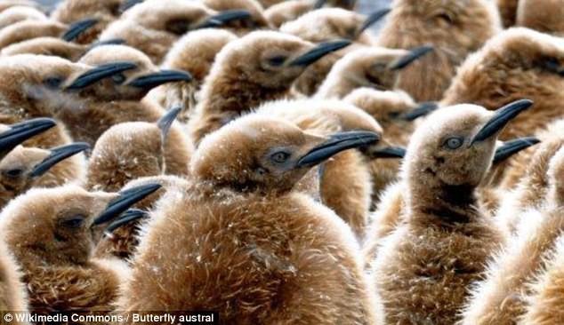 Khi hoàng đế băng hà: Vua của chim cánh cụt có thể vĩnh viễn bị xóa sổ trong tương lai gần - Ảnh 4.