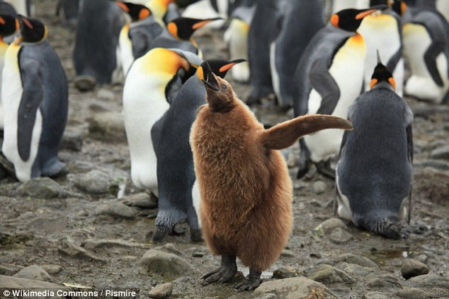 Khi hoàng đế băng hà: Vua của chim cánh cụt có thể vĩnh viễn bị xóa sổ trong tương lai gần - Ảnh 5.