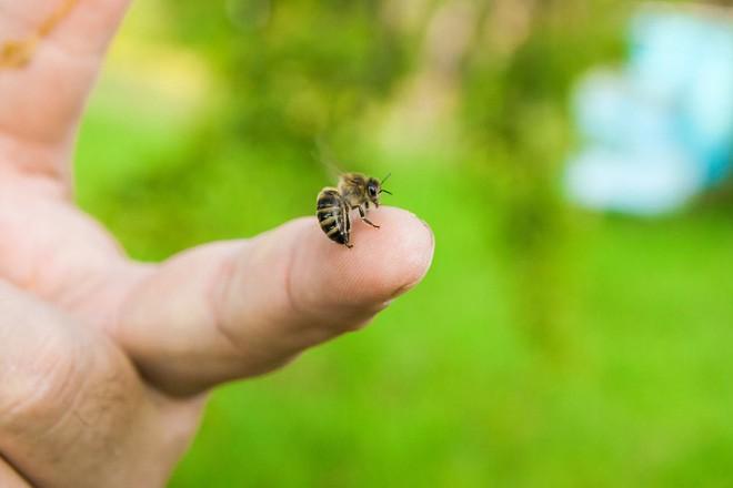 Tử vong do chữa bệnh bằng cách cho ong đốt - Lời cảnh tỉnh cho người muốn chữa bệnh bằng nọc ong - Ảnh 2.