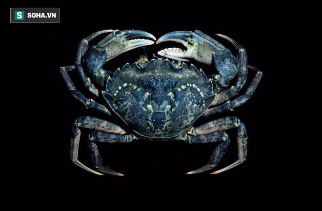 Cua biển xanh - Carcinus maenas. Nguồn: Crabdatabase