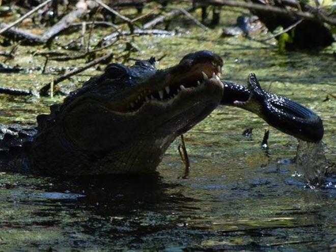 24h qua ảnh: Cá sấu mẹ tung đòn nghiền nát rắn để bảo vệ con - Ảnh 4.