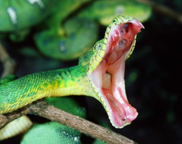 Bị rắn cắn: Đâu mới là cách sơ cứu đúng chuẩn, tránh biến chứng nguy hiểm tính mạng? - Ảnh 1.