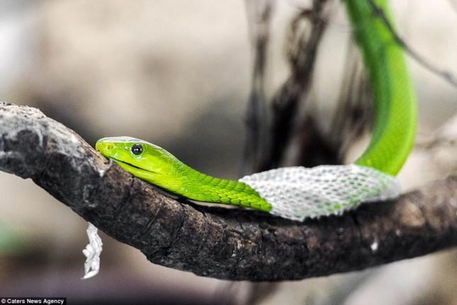 Bị rắn cắn: Đâu mới là cách sơ cứu đúng chuẩn, tránh biến chứng nguy hiểm tính mạng? - Ảnh 3.