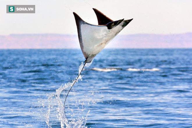 Sự thật về việc hàng ngàn con cá đuối thi nhau bay như chim trên mặt nước! - Ảnh 1.