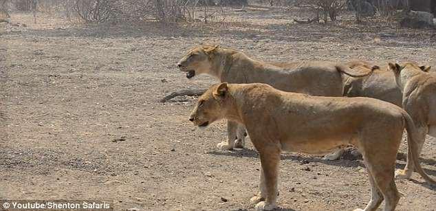 Bầy sư tử bất ngờ nhận đòn đau từ vũ khí bí mật của con mồi - ảnh 1