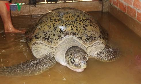 Người dân thả rùa nặng gần 200kg về biển được xem xét khen thưởng - Ảnh 2.