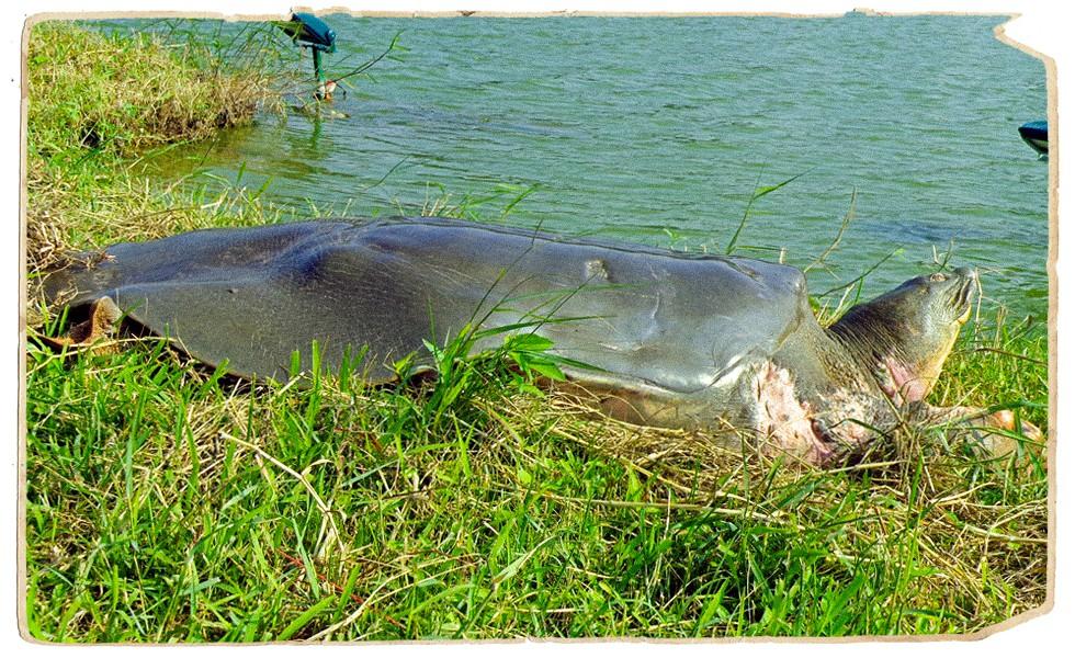 Lần đầu tiết lộ những ngày cuối đời của Cụ Rùa và cuộc lột xác để trở lại Hồ Gươm - Ảnh 6.