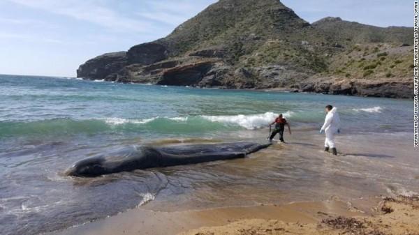 Xác chú cá nhà táng được tìm thấy trên bờ biển. Ảnh: CNN