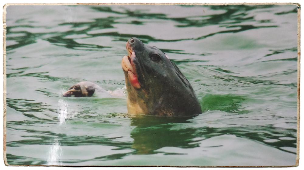 Lần đầu tiết lộ những ngày cuối đời của Cụ Rùa và cuộc lột xác để trở lại Hồ Gươm - Ảnh 7.