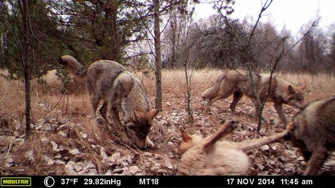 Chernobyl là thảm họa của con người, nhưng lại là tin vui với động vật hoang dã trong khu vực này - ảnh 1