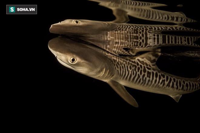"""Nỗi ám ảnh về con cá """"tàn ác"""" và kẻ thù lớn nhất của loài cá mập hổ - Ảnh 4."""