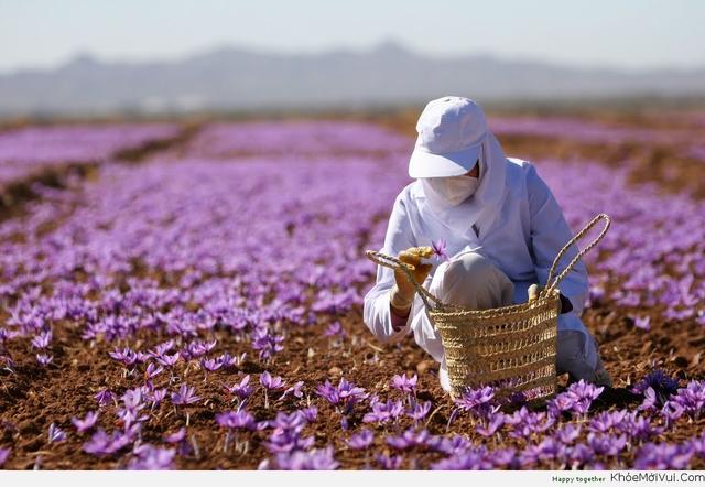 Vì sao nhụy hoa nghệ tây là loại gia vị đắt nhất thế giới, giá lên tới 10.000 USD/kg?  - Ảnh 2.