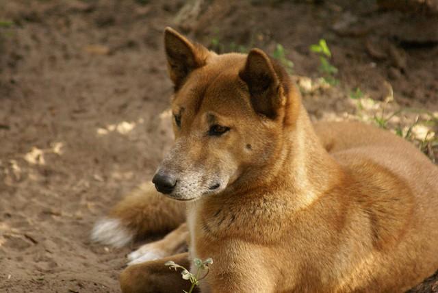 Phát hiện loài chó nguyên thủy ở đỉnh núi hẻo lánh nhất thế giới! - Ảnh 4.
