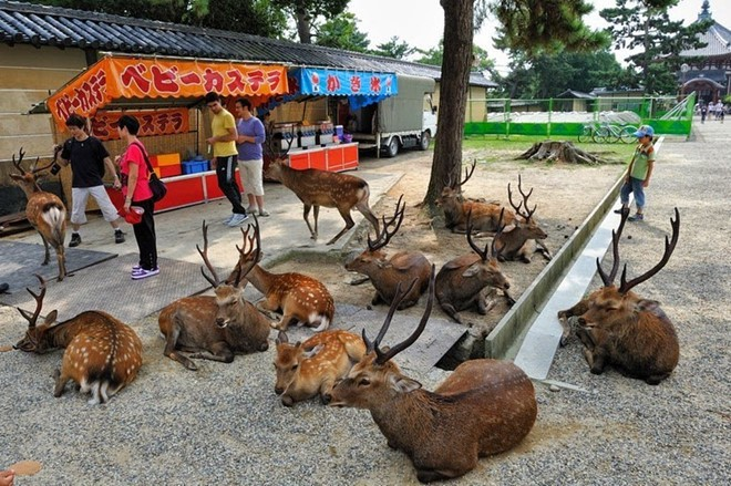 Một góc công viên Nara với cả tá hươu nai hồn nhiên nằm nghỉ ngơi.