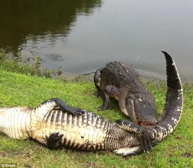Chiếc răng này có thể là của con cá sấu tấn công phần cổ lúc đầu. Ảnh: Break