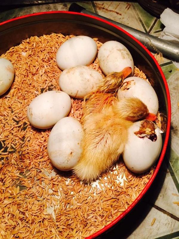Mua trứng vịt lộn về ăn trong ngày nóng khủng khiếp, cô gái bất đắc dĩ trở thành vịt mẹ - Ảnh 3.