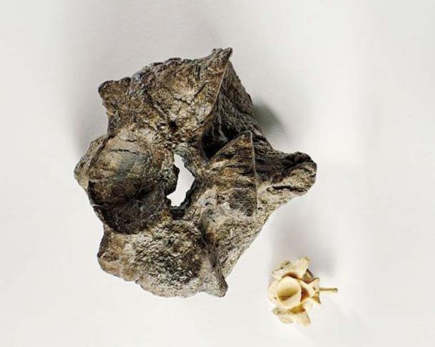 Titanoboa - Mãng xà cổ đại: Dài gấp đôi Anaconda, chuyên làm thịt cá sấu tiền sử - Ảnh 2.