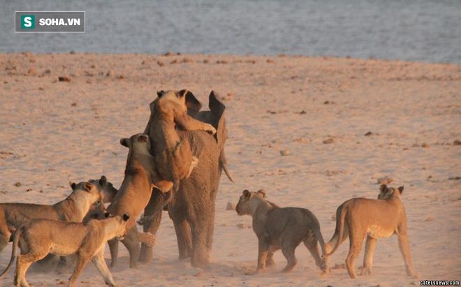 Bị tới 14 con sư tử tấn công, voi con vẫn thoát chết thần kỳ nhờ quyết định bất ngờ! - Ảnh 1.
