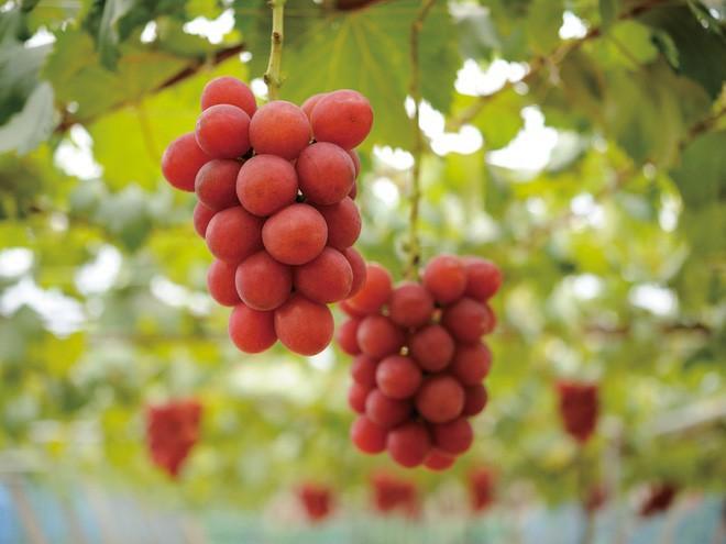 Những loại quả ngon miễn bàn nhưng giá cả siêu đắt đỏ chỉ có giới nhà giàu mới dám ăn ở Nhật Bản - Ảnh 3.