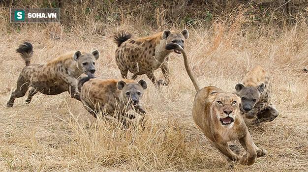 Đụng tới quý tử bầy linh cẩu, sư tử bị đánh hội đồng: Phút cuối, nó thoát chết khó tin! - Ảnh 1.