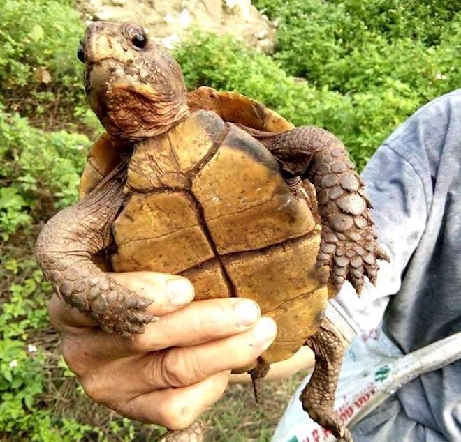 Thấy hai thanh niên mang rùa vàng từ rừng ra, người dân mua rồi thả về tự nhiên - Ảnh 1.
