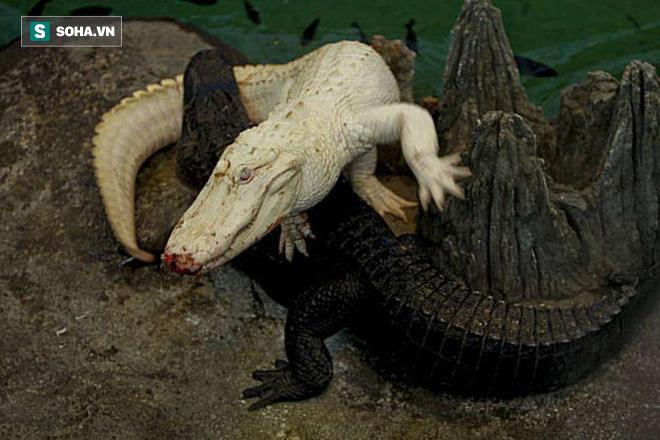 Huyết chiến giữa 2 con cá sấu bạch tạng cực hiếm: Một vua đầm lầy đổ máu! - Ảnh 1.