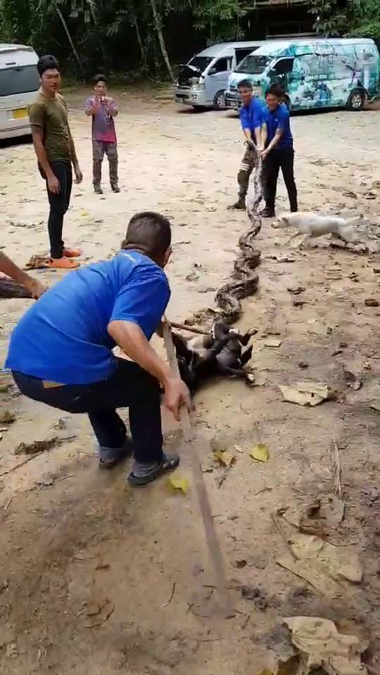 CLIP: Nhóm người vật lộn giải cứu chú chó bị rắn khổng lồ nuốt - Ảnh 3.